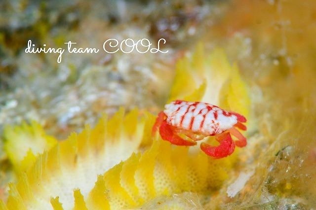 沖縄ダイビング チリメンベニオウギガニ