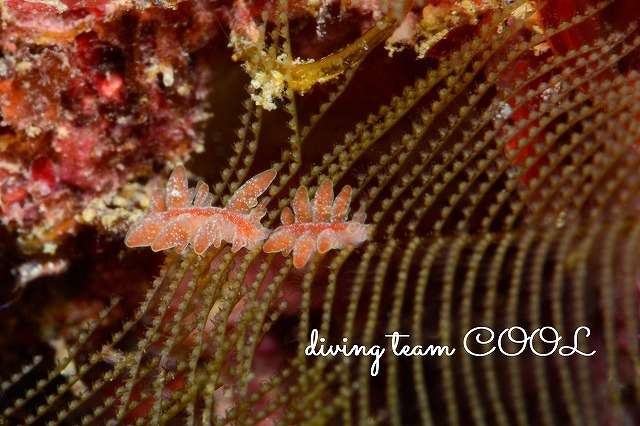 沖縄ダイビングウミウシ アカオビマツカサウミウシ