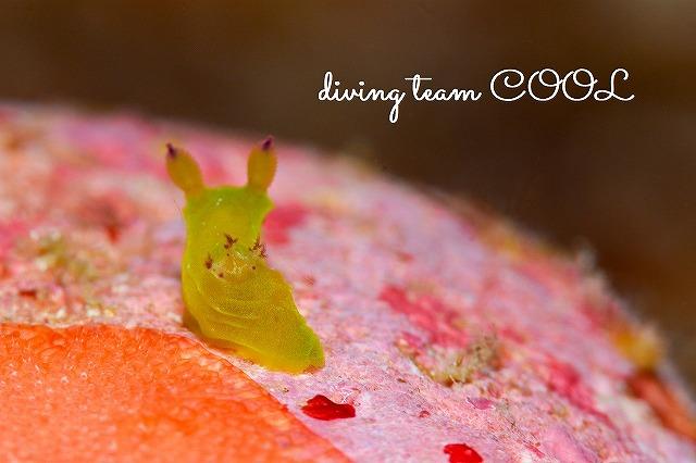 沖縄ダイビング コミドリリュウグウウミウシ