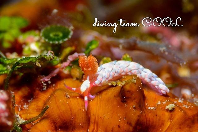 沖縄本島ビーチダイブ ミナミツツイシミノウミウシ