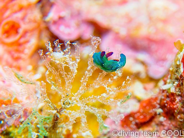 沖縄 コミドリリュウグウウミウシ