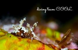 沖縄ファンダイビング モウサンウミウシ
