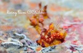 沖縄フォトダイビング ネコジタウミウシ属の一種4