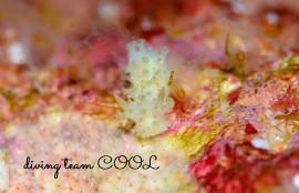 沖縄ファンダイビング キュウバンウミウシ