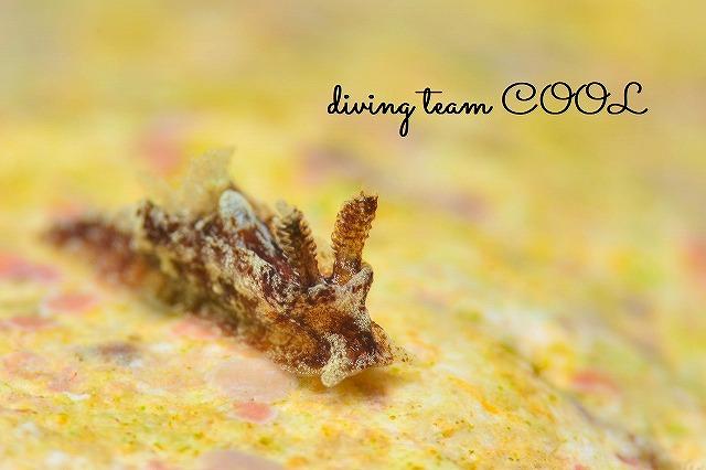 沖縄ウミウシダイブ クロネコウミウシ