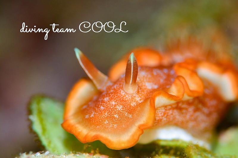沖縄ウミウシダイブ キャラメルウミウシ