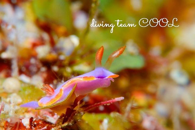 ケラマ諸島 クチバイロウミウシ
