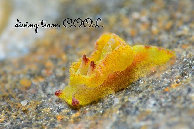 ケラマ諸島ウミウシダイブ ネコジタウミウシ属の1種3