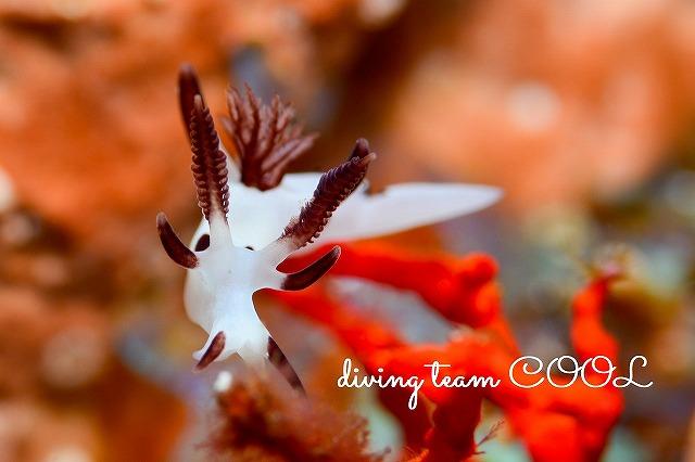 ケラマ諸島ウミウシダイブ パンダツノウミウシ
