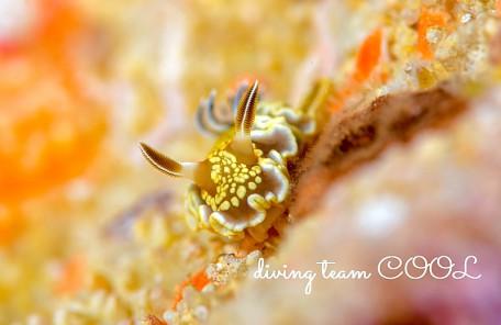沖縄 キンゴマイロウミウシ