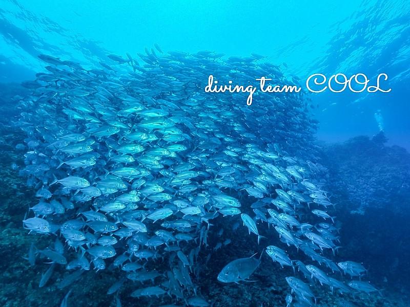 沖縄 ギンガメアジの群れ