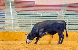 沖縄 闘牛