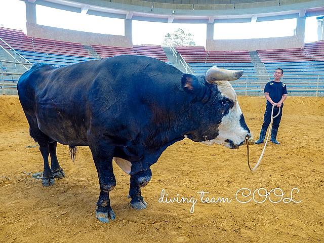 沖縄 闘牛と少年