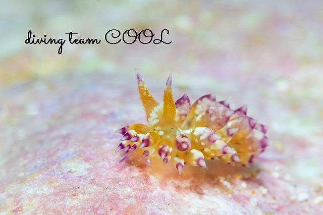 砂辺ビーチダイブ コヤナギウミウシ属の仲間