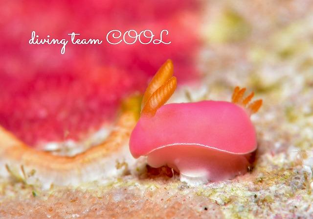 沖縄ウミウシダイビング フジムスメウミウシ