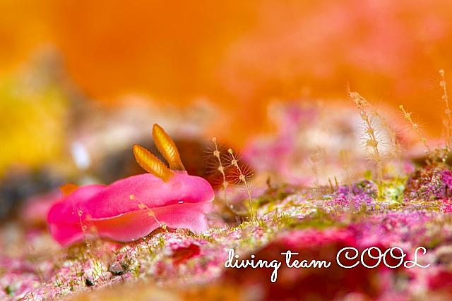 沖縄 フジムスメウミウシ