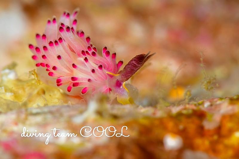 沖縄 パスタチゴミノウミウシ