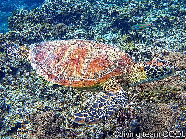 沖縄 アオウミガメ