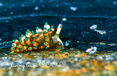 沖縄 ターコイズミノウミウシ