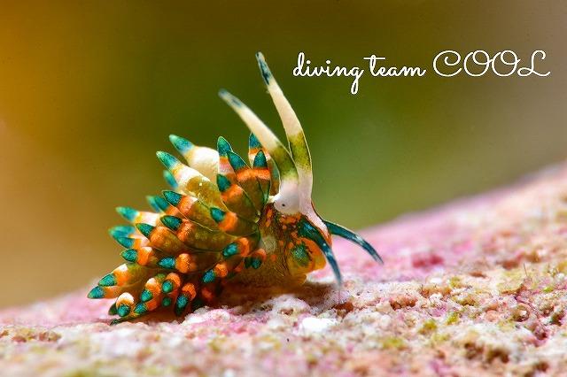 沖縄ダイビング ターコイズミノウミウシ