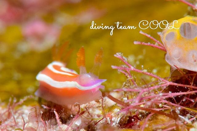 沖縄ダイビング ニタリイロウミウシ