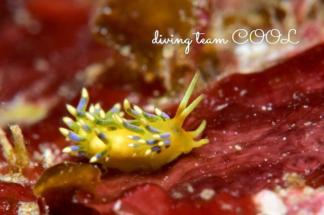 沖縄ダイビング フジエラミノウミウシ