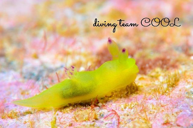 ケラマ体験ダイビング コミドリリュウグウウミウシ
