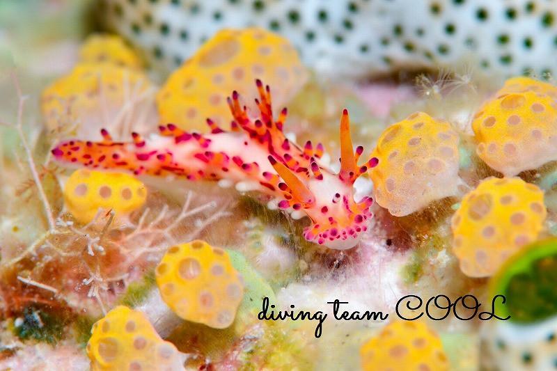 沖縄ウミウシダイブ センヒメウミウシ