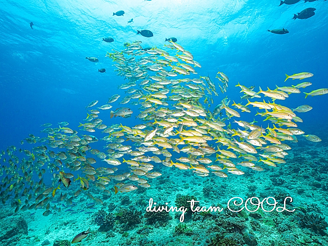 沖縄 アカヒメジの群れ