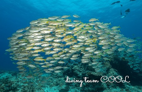 沖縄 アカヒメジとノコギリダイの群れ