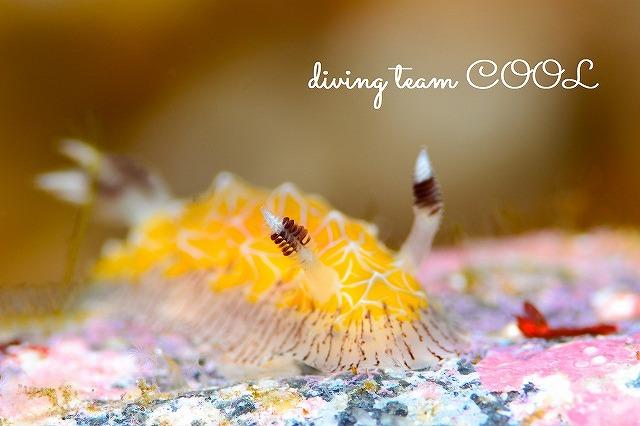 沖縄本島ウミウシダイブ シロスジヒオドシウミウシ