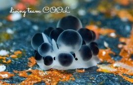 沖縄ダイビング クロダンゴイボウミウシ