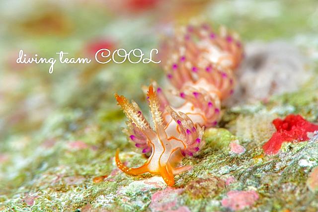 沖縄 クマドリミノウミウシ
