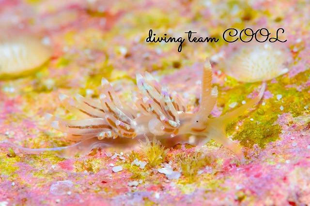 沖縄ウミウシダイブ カザリフウセンミノウミウシ