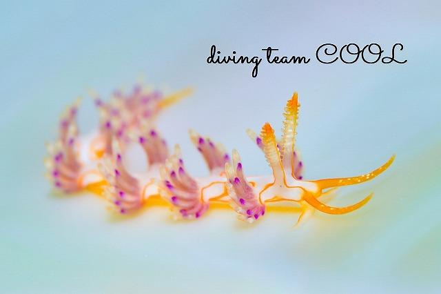 沖縄ウミウシダイブ クマドリミノウミウシ