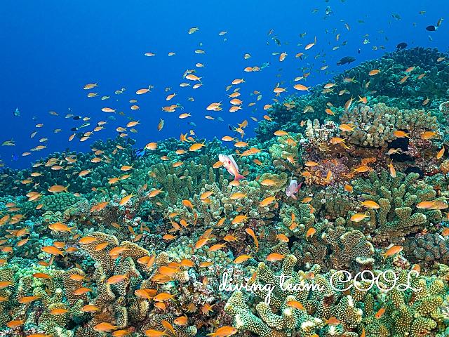 沖縄 キンギョハナダイの群れ