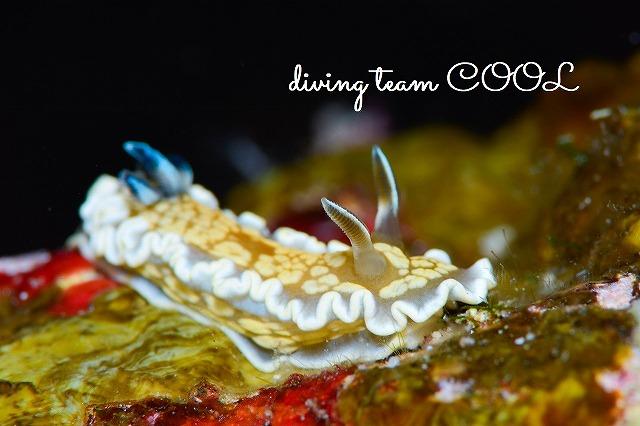 沖縄ウミウシダイブ キンゴマイロウミウシ