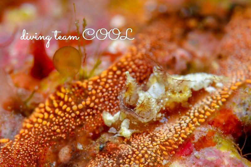 沖縄ウミウシダイブ サガミコネコウミウシ