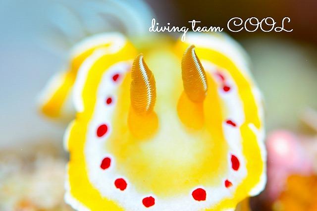 沖縄ウミウシダイブ アカテンイロウミウシ