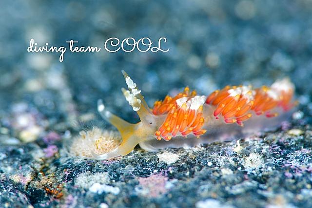 沖縄 ツマシロミノウミウシ