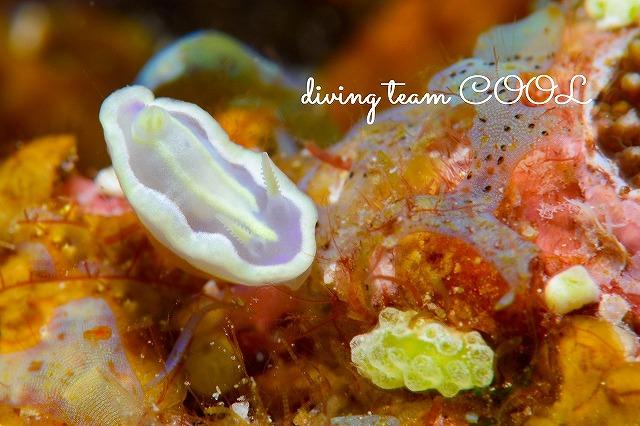 沖縄ウミウシダイブ ウスフジイロウミウシ