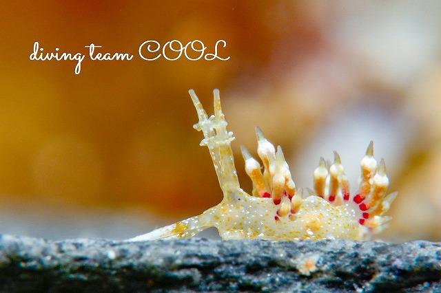 沖縄ウミウシダイブ ネアカミノウミウシ