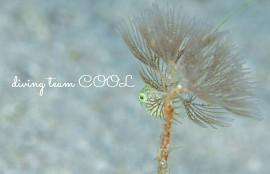 沖縄 アオサハギの幼魚