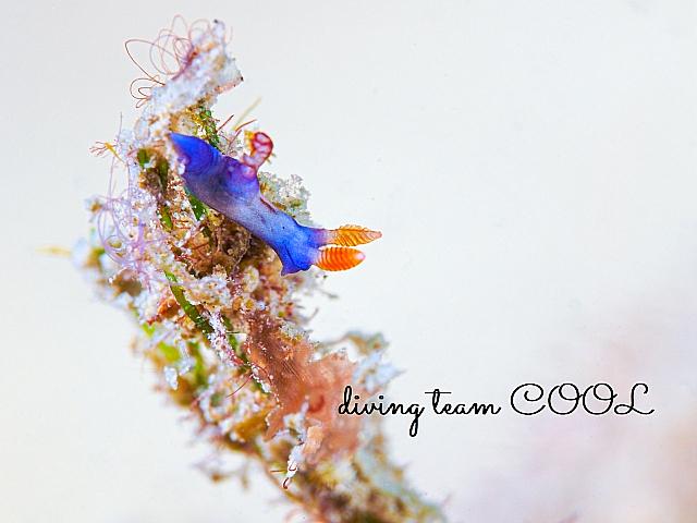 沖縄 リュウグウウミウシの幼体