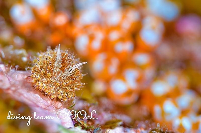 沖縄 コヤナギウミウシ