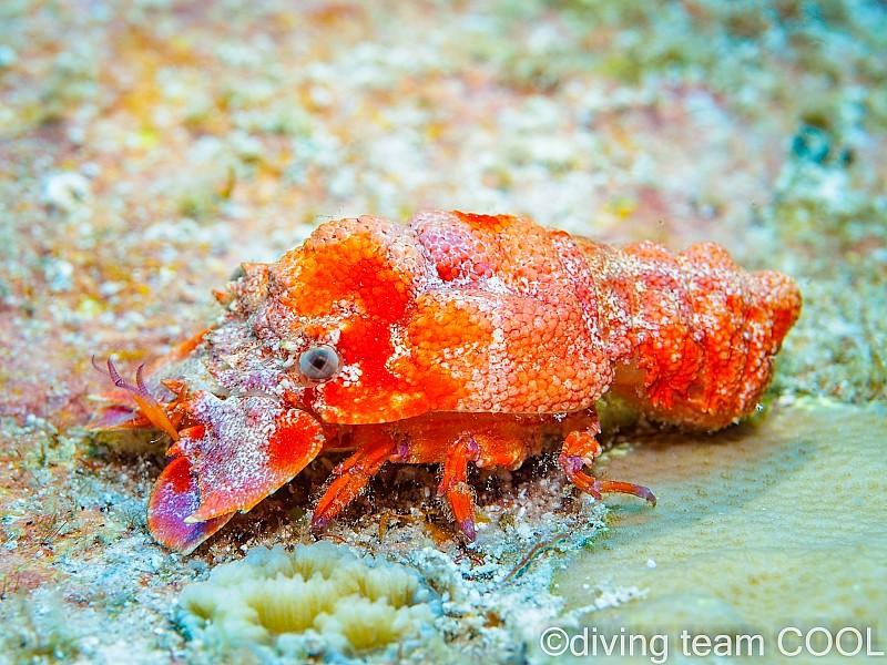 沖縄 セミエビの幼体
