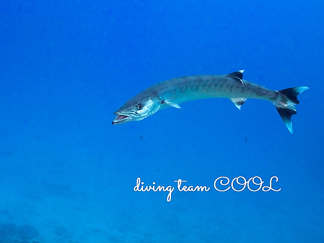 沖縄ダイビング オニカマス