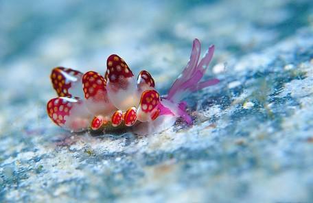 沖縄ダイビング カノコウロコウミウシ