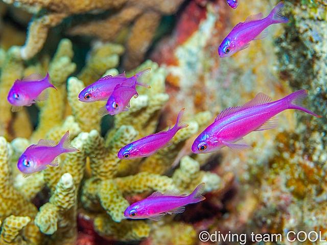 沖縄ダイビング ハナゴイの幼魚