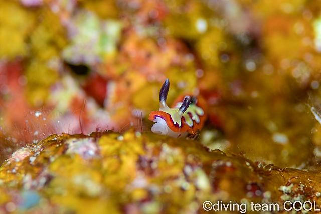 沖縄ダイビング フジナミウミウシ
